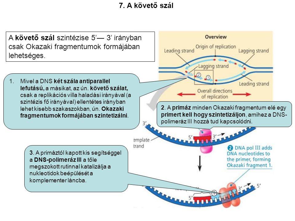 1.Mivel a DNS két szála antiparallel lefutású, a másikat, az ún.