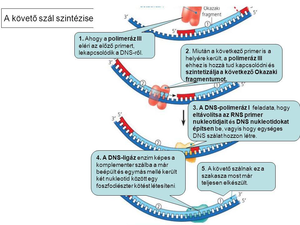 A követő szál szintézise… 1.Ahogy a polimeráz III eléri az előző primert, lekapcsolódik a DNS-ről.