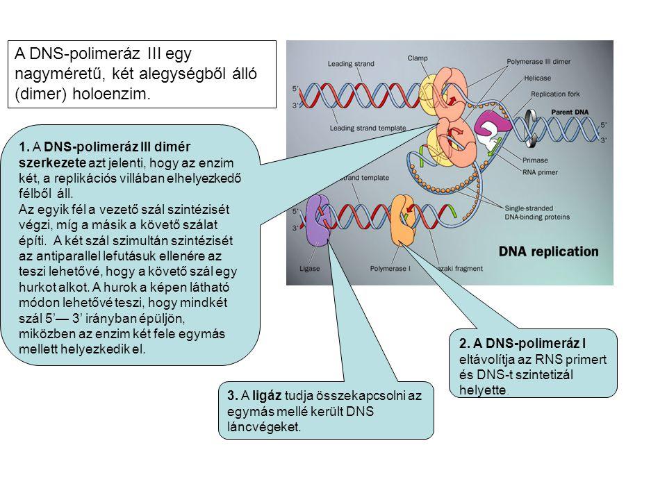 1. A DNS-polimeráz III dimér szerkezete azt jelenti, hogy az enzim két, a replikációs villában elhelyezkedő félből áll. Az egyik fél a vezető szál szi