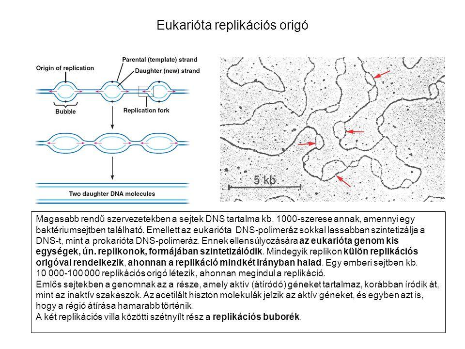 Eukarióta replikációs origó Magasabb rendű szervezetekben a sejtek DNS tartalma kb.