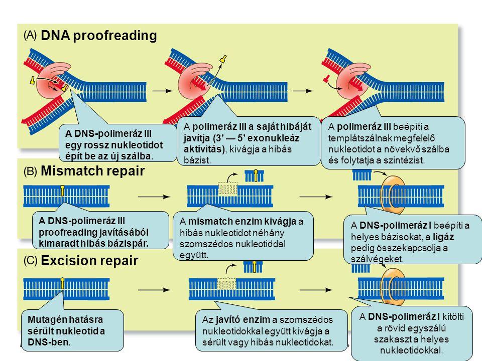 DNA proofreading Excision repair Mismatch repair A DNS-polimeráz III egy rossz nukleotidot épít be az új szálba.