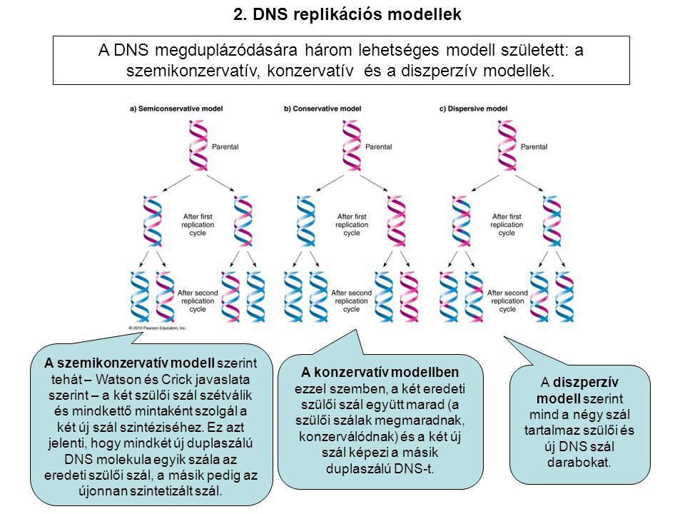 A DNS megduplázódására három lehetséges modell született: a szemikonzervatív, konzervatív és a diszperzív modellek.