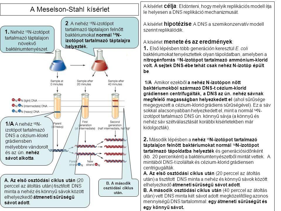A kísérlet célja : Eldönteni, hogy melyik replikációs modell írja le helyesen a DNS replikáció mechanizmusát.