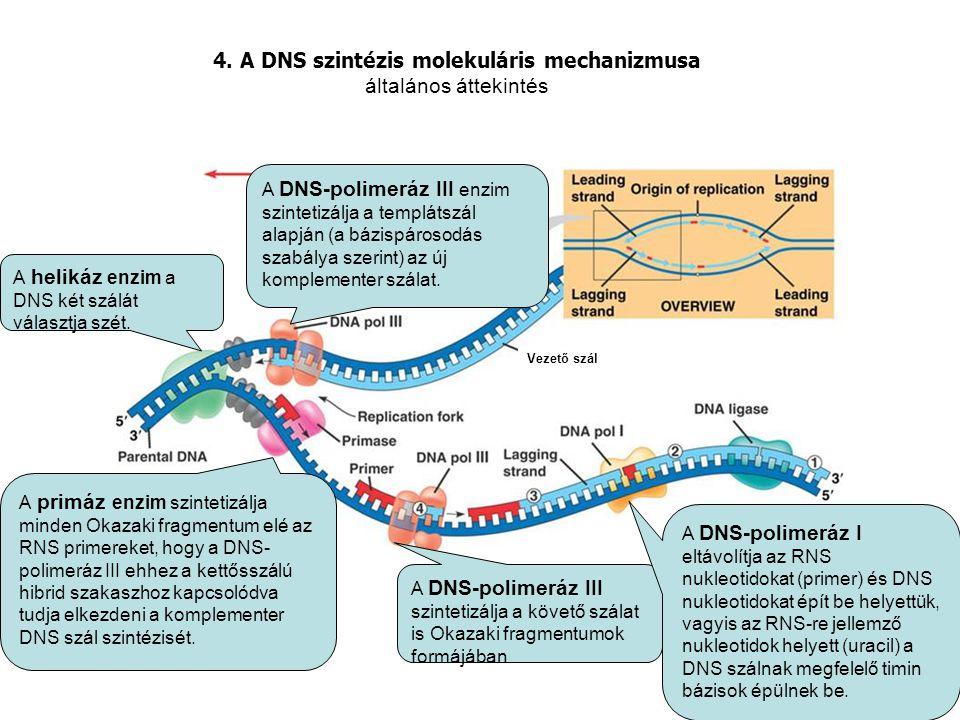 4. A DNS szintézis molekuláris mechanizmusa általános áttekintés alskjlskdf A helikáz enzim a DNS két szálát választja szét. A DNS-polimeráz III enzim