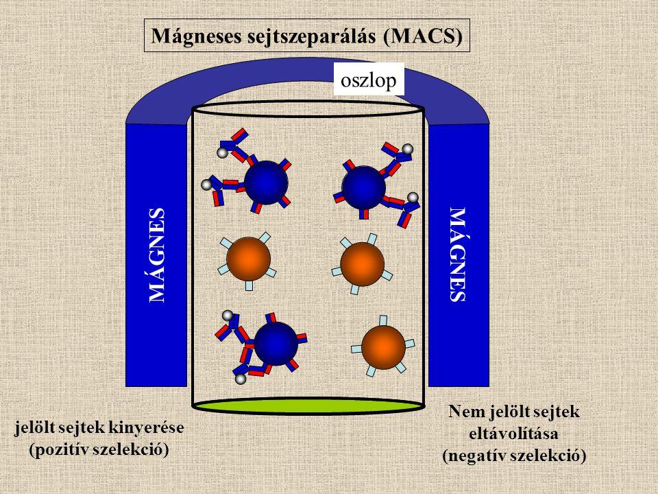 Mágneses sejtszeparálás (MACS) MÁGNES oszlop Nem jelölt sejtek eltávolítása (negatív szelekció) jelölt sejtek kinyerése (pozitív szelekció)