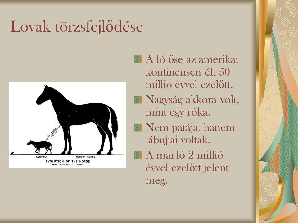 Lovak törzsfejl ő dése A ló ő se az amerikai kontinensen élt 50 millió évvel ezel ő tt.