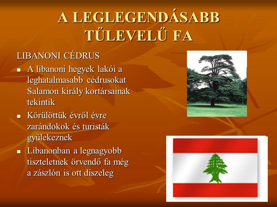 A LEGLEGENDÁSABB TŰLEVELŰ FA LIBANONI CÉDRUS  A libanoni hegyek lakói a leghatalmasabb cédrusokat Salamon király kortársainak tekintik  Körülöttük é