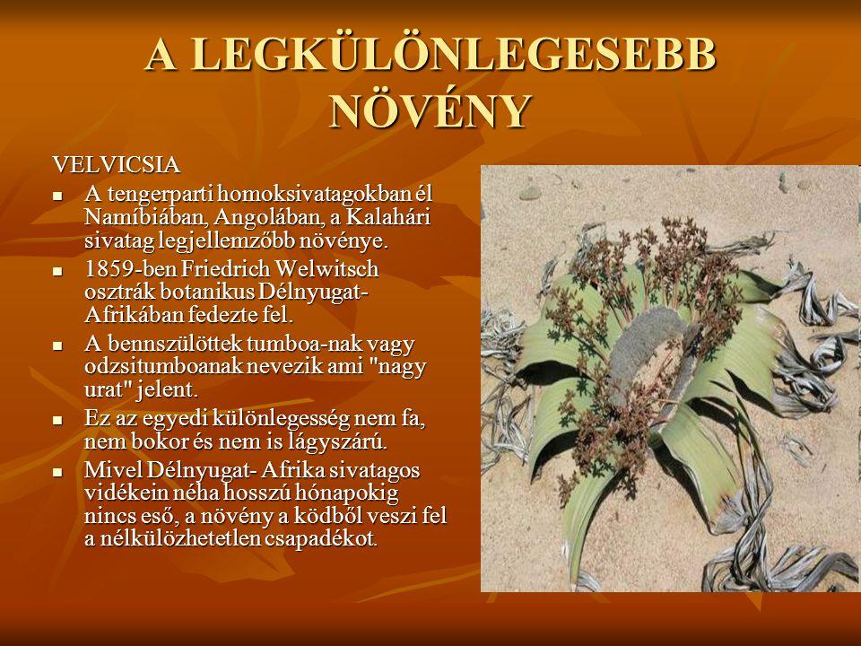 A LEGKÜLÖNLEGESEBB NÖVÉNY VELVICSIA  A tengerparti homoksivatagokban él Namíbiában, Angolában, a Kalahári sivatag legjellemzőbb növénye.  1859-ben F