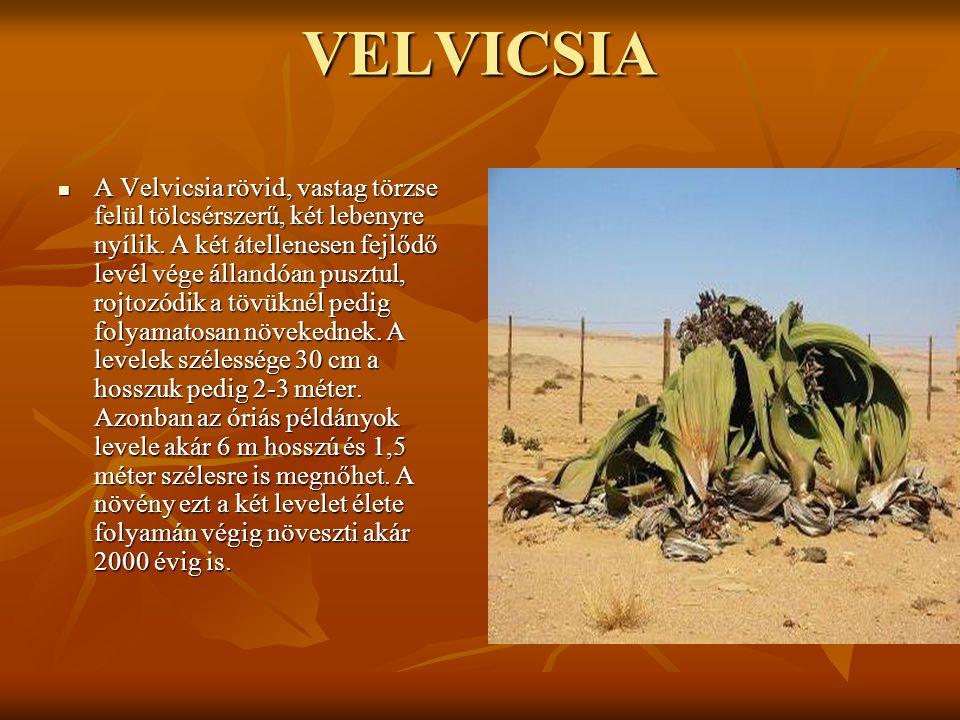 VELVICSIA  A Velvicsia rövid, vastag törzse felül tölcsérszerű, két lebenyre nyílik. A két átellenesen fejlődő levél vége állandóan pusztul, rojtozód