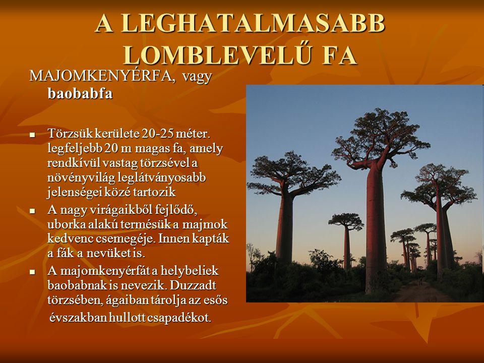 A LEGHATALMASABB LOMBLEVELŰ FA MAJOMKENYÉRFA, vagy baobabfa  Törzsük kerülete 20-25 méter. legfeljebb 20 m magas fa, amely rendkívül vastag törzsével