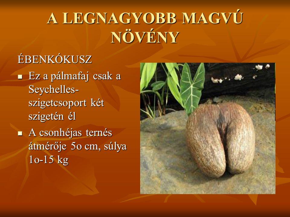A LEGNAGYOBB MAGVÚ NÖVÉNY ÉBENKÓKUSZ  Ez a pálmafaj csak a Seychelles- szigetcsoport két szigetén él  A csonhéjas ternés átmérője 5o cm, súlya 1o-15