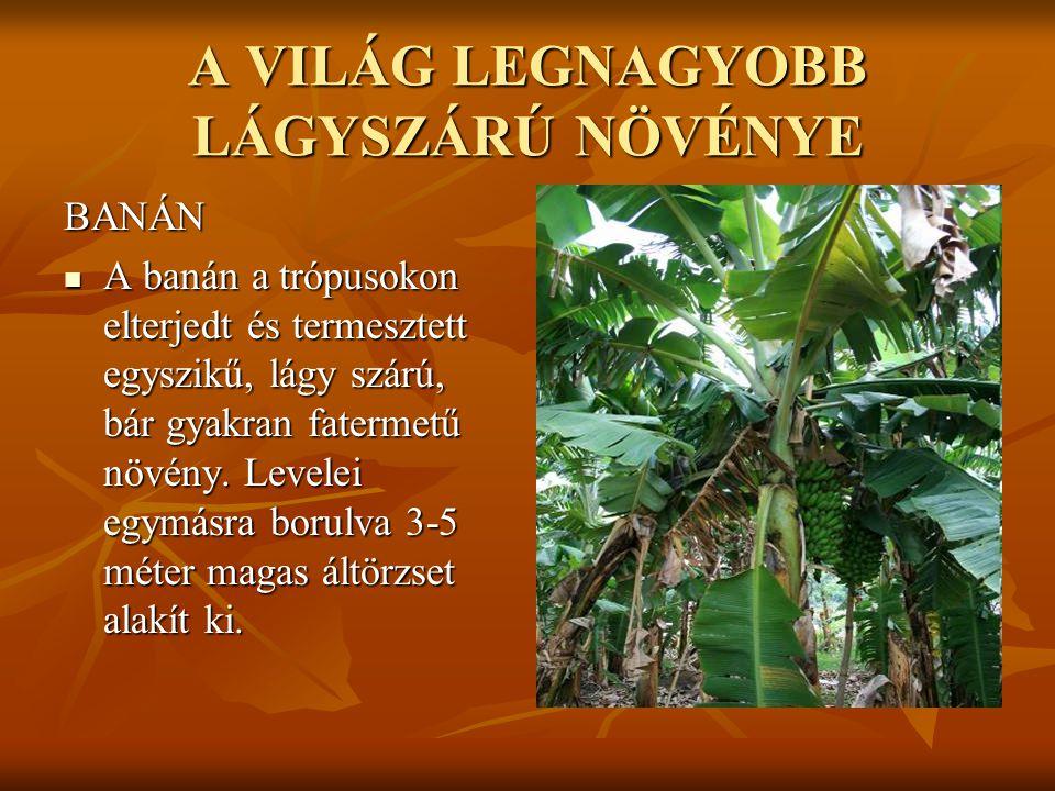 A VILÁG LEGNAGYOBB LÁGYSZÁRÚ NÖVÉNYE BANÁN  A banán a trópusokon elterjedt és termesztett egyszikű, lágy szárú, bár gyakran fatermetű növény. Levelei