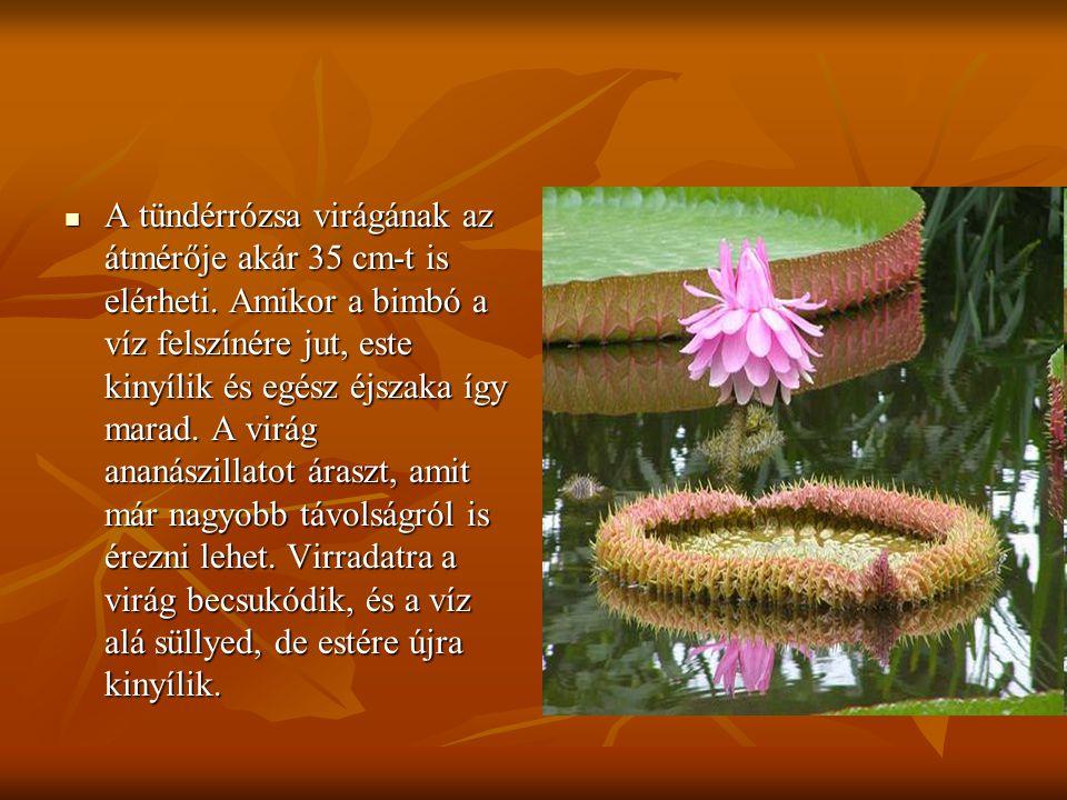  A tündérrózsa virágának az átmérője akár 35 cm-t is elérheti. Amikor a bimbó a víz felszínére jut, este kinyílik és egész éjszaka így marad. A virág