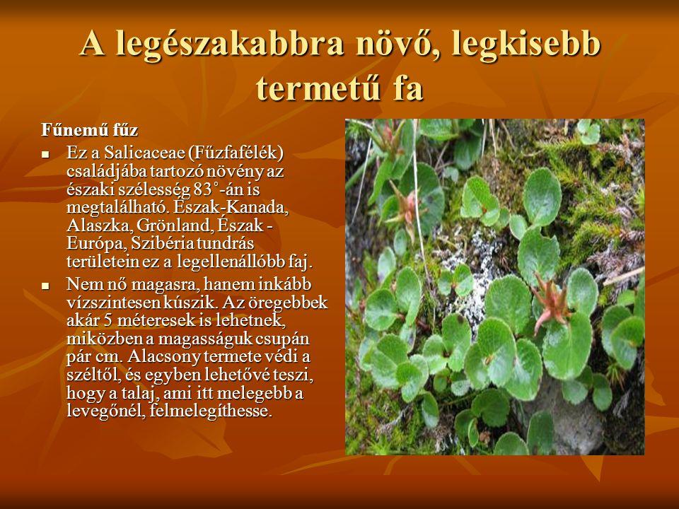 A legészakabbra növő, legkisebb termetű fa Fűnemű fűz  Ez a Salicaceae (Fűzfafélék) családjába tartozó növény az északi szélesség 83˚-án is megtalálh