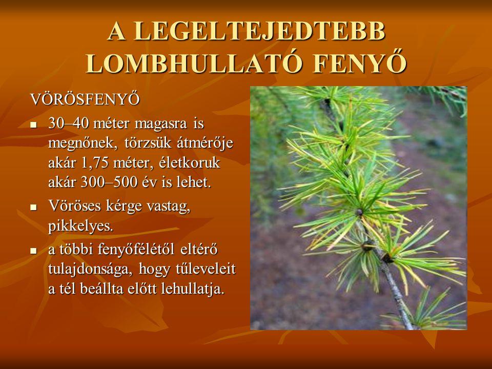 A LEGELTEJEDTEBB LOMBHULLATÓ FENYŐ VÖRÖSFENYŐ  30–40 méter magasra is megnőnek, törzsük átmérője akár 1,75 méter, életkoruk akár 300–500 év is lehet.