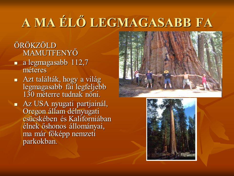 A MA ÉLŐ LEGMAGASABB FA ÖRÖKZÖLD MAMUTFENYŐ  a legmagasabb 112,7 méteres  Azt találták, hogy a világ legmagasabb fái legfeljebb 130 méterre tudnak n