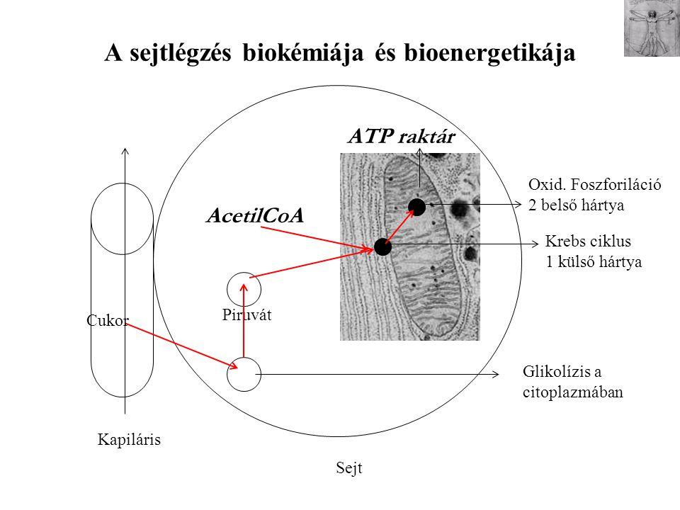A sejtlégzés biokémiája és bioenergetikája Krebs ciklus 1 külső hártya Oxid. Foszforiláció 2 belső hártya Kapiláris Sejt Glikolízis a citoplazmában Cu