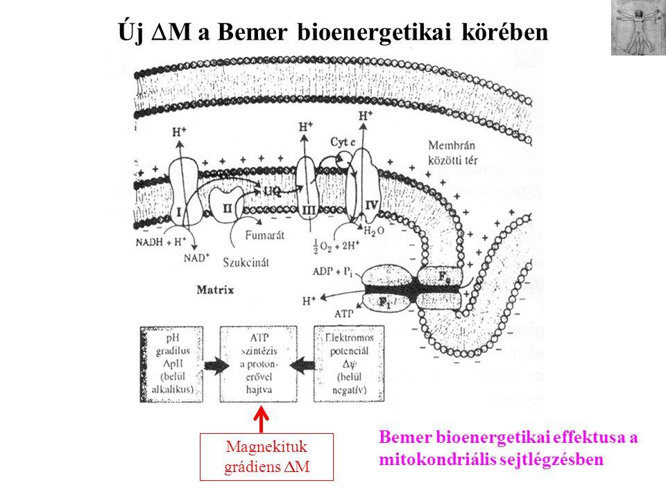 Új  M a Bemer bioenergetikai körében Magnekituk grádiens  M Bemer bioenergetikai effektusa a mitokondriális sejtlégzésben