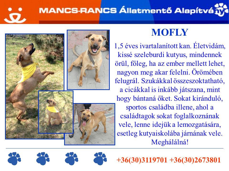 MOFLY 1,5 éves ivartalanított kan.