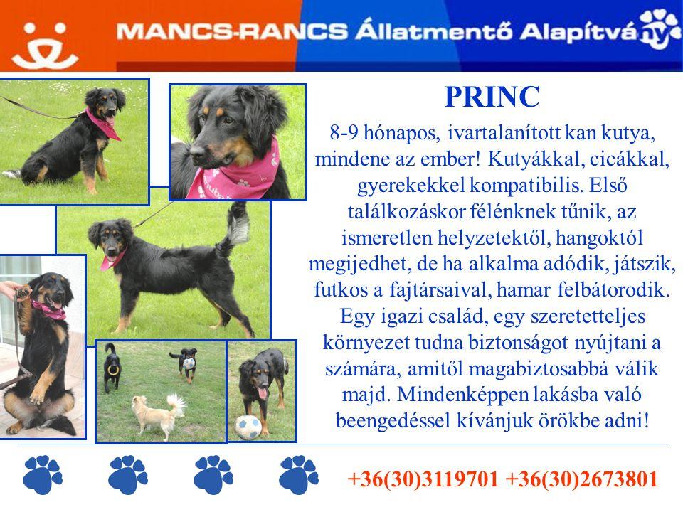 PRINC 8-9 hónapos, ivartalanított kan kutya, mindene az ember.