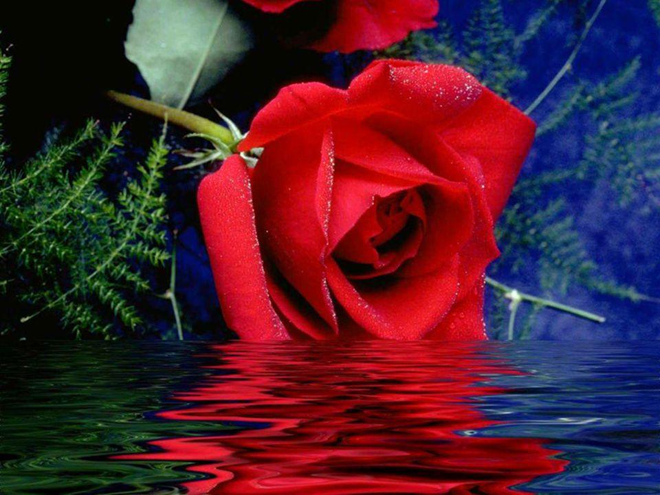 Angliában csak a XIV. században ismerték meg, ahol a fehér és vörös rózsa két rivális nemzetség között dúló háború jelképe lett. Ezt a 30 évig tartó h