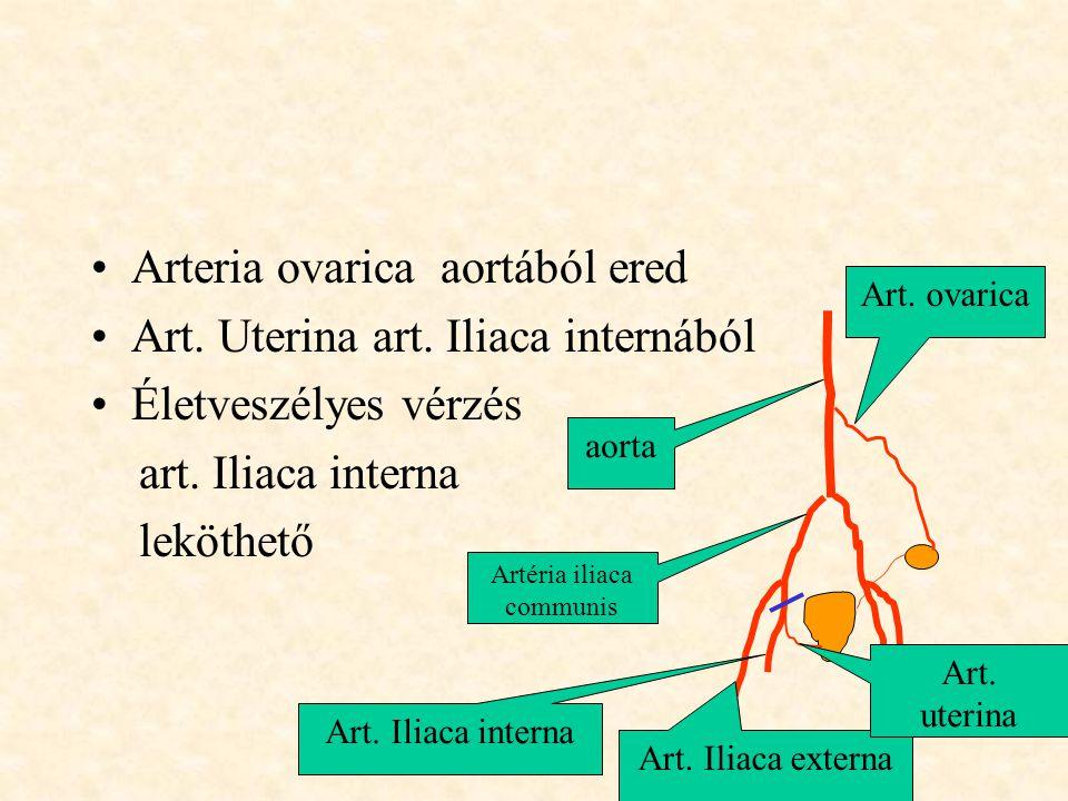 •Arteria ovarica aortából ered •Art. Uterina art. Iliaca internából •Életveszélyes vérzés art. Iliaca interna leköthető aorta Artéria iliaca communis