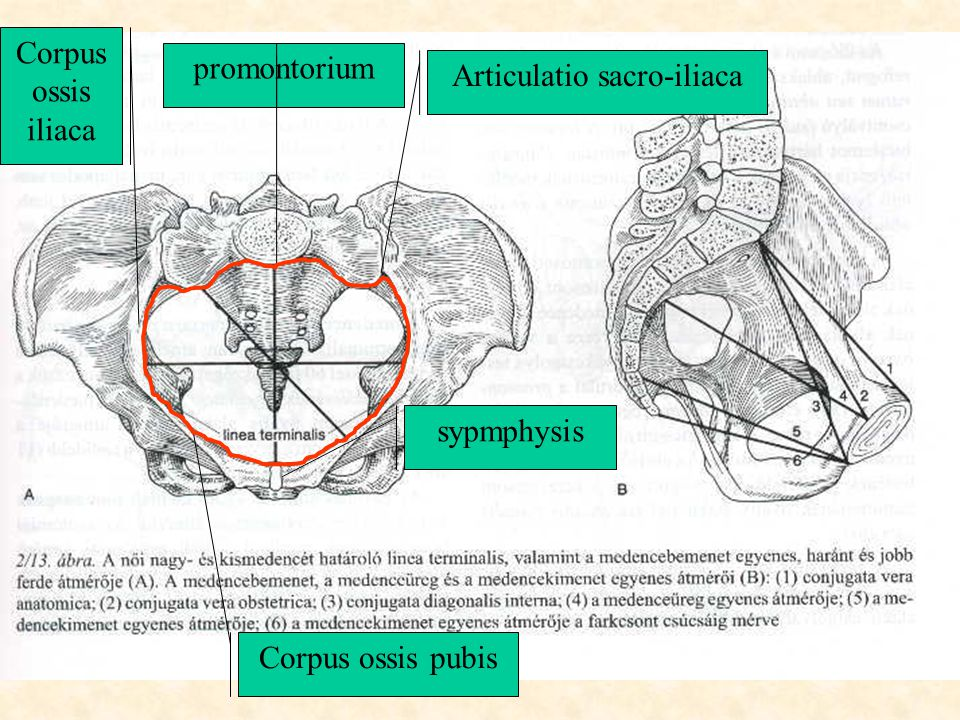 promontorium Corpus ossis pubis Corpus ossis iliaca sypmphysis Articulatio sacro-iliaca