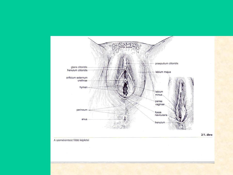 Szülészet-nőgyógyászat6 Külső nemi szervek •Szeméremdomb (venus domb, mons pubis): Venus, a szerelem és szépség istennője.