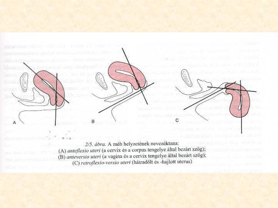 Belső nemi szervek •Méhkürt és petevezeték (tuba uterina, Fallopii, salpinx): adnexa uteri (petefészek és petevezető).