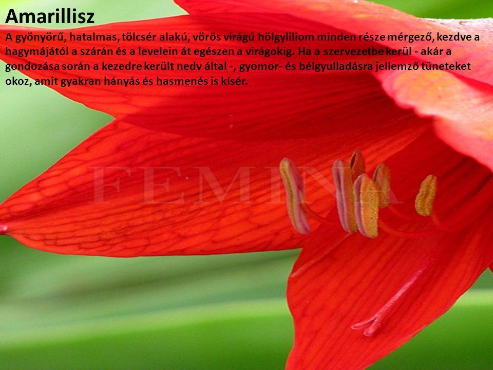Amarillisz A gyönyörű, hatalmas, tölcsér alakú, vörös virágú hölgyliliom minden része mérgező, kezdve a hagymájától a szárán és a levelein át egészen