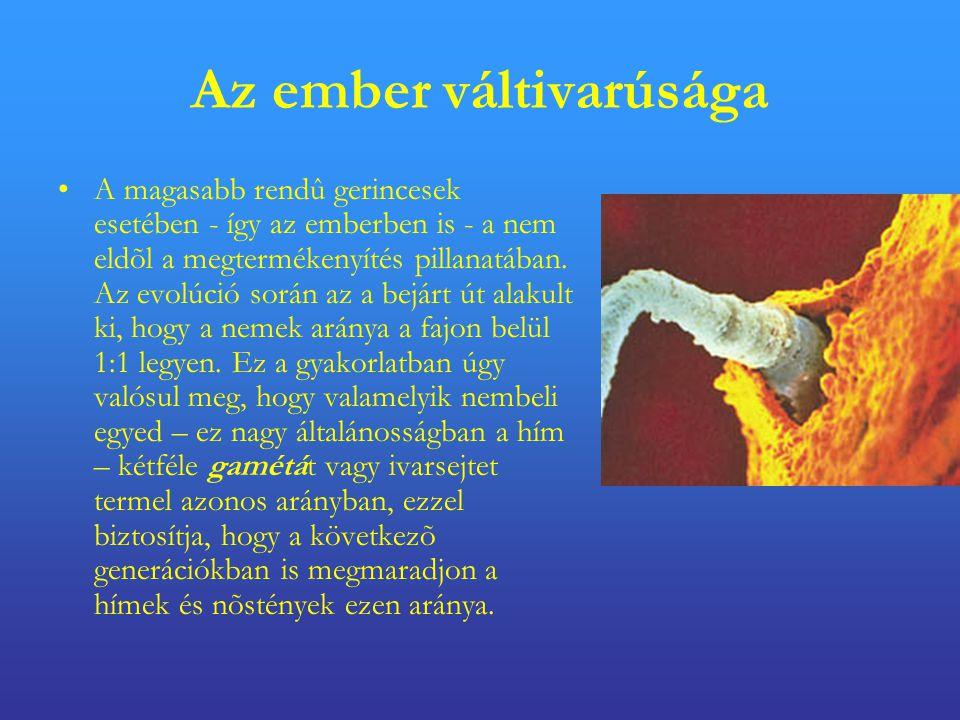 Az ember váltivarúsága •A magasabb rendû gerincesek esetében - így az emberben is - a nem eldõl a megtermékenyítés pillanatában.
