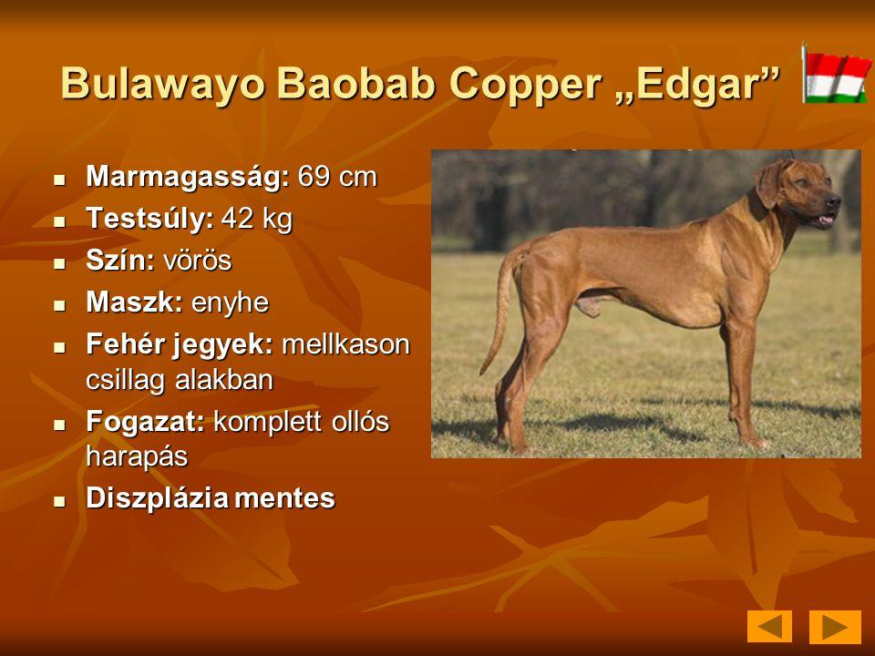 """Bulawayo Baobab Copper """"Edgar""""  Marmagasság: 69 cm  Testsúly: 42 kg  Szín: vörös  Maszk: enyhe  Fehér jegyek: mellkason csillag alakban  Fogazat"""