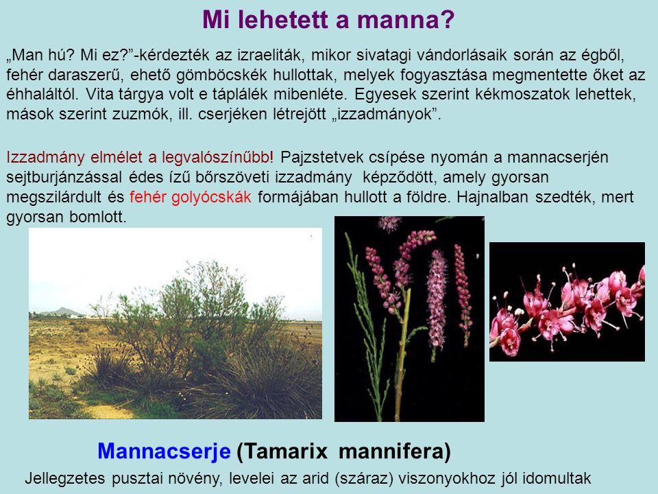 Mannacserje (Tamarix mannifera) Jellegzetes pusztai növény, levelei az arid (száraz) viszonyokhoz jól idomultak Izzadmány elmélet a legvalószínűbb.