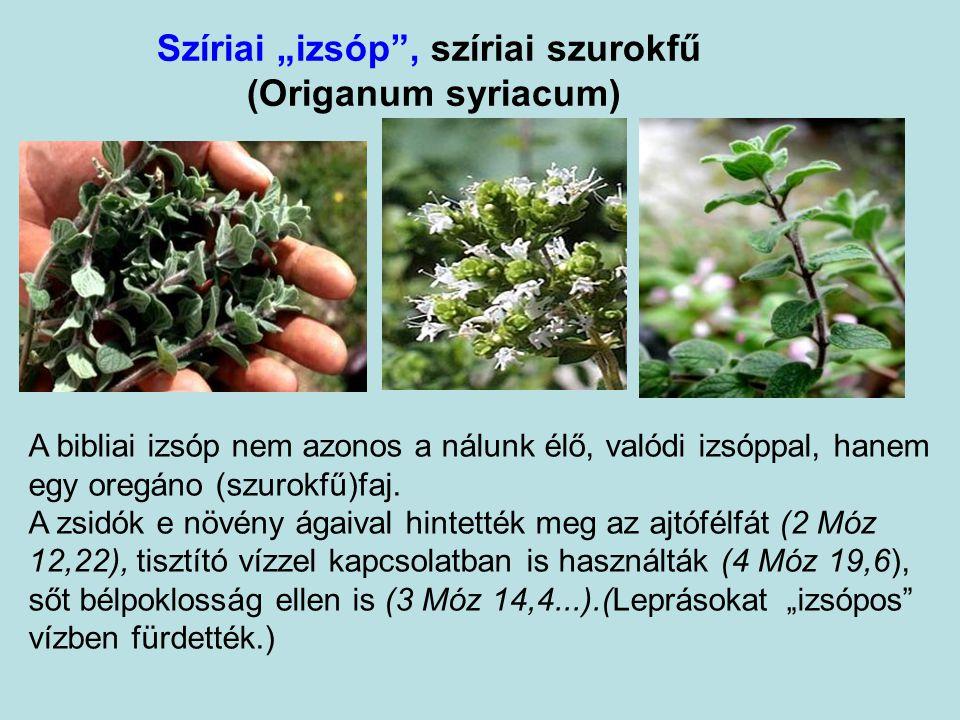 """Szíriai """"izsóp , szíriai szurokfű (Origanum syriacum) A bibliai izsóp nem azonos a nálunk élő, valódi izsóppal, hanem egy oregáno (szurokfű)faj."""
