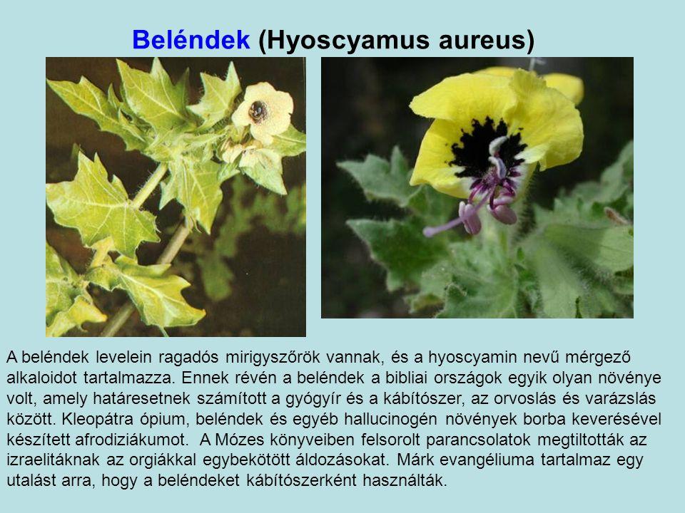 Beléndek (Hyoscyamus aureus) A beléndek levelein ragadós mirigyszőrök vannak, és a hyoscyamin nevű mérgező alkaloidot tartalmazza.