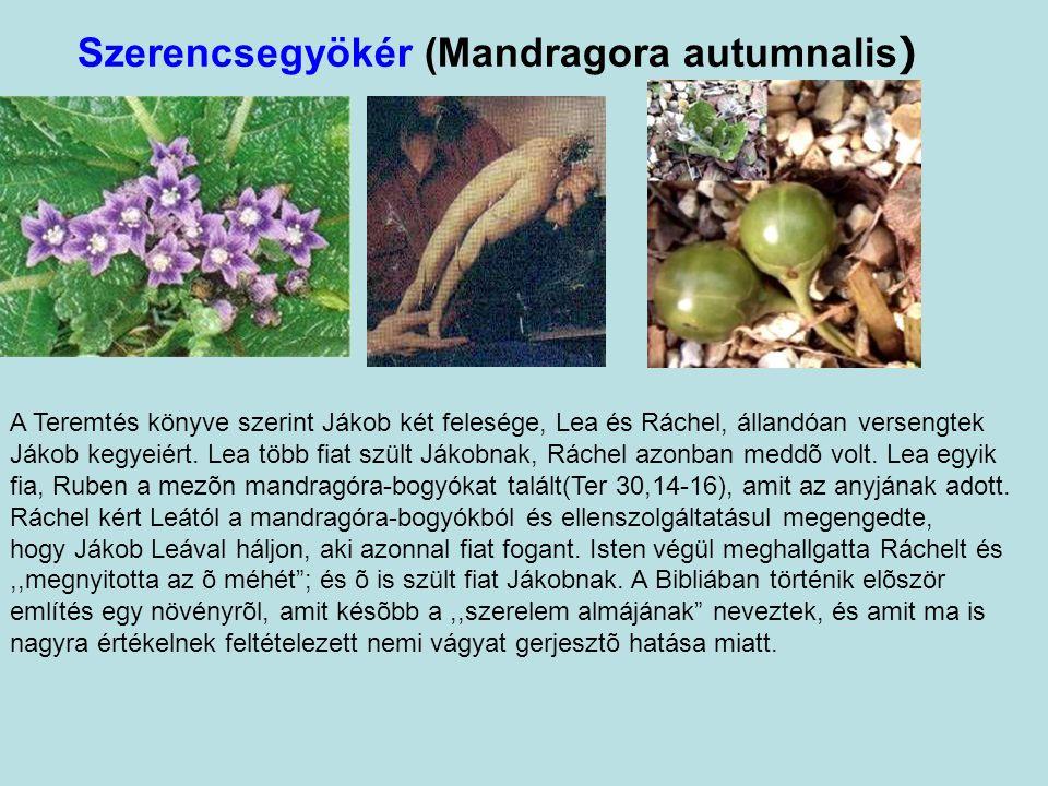 Szerencsegyökér (Mandragora autumnalis ) A Teremtés könyve szerint Jákob két felesége, Lea és Ráchel, állandóan versengtek Jákob kegyeiért.