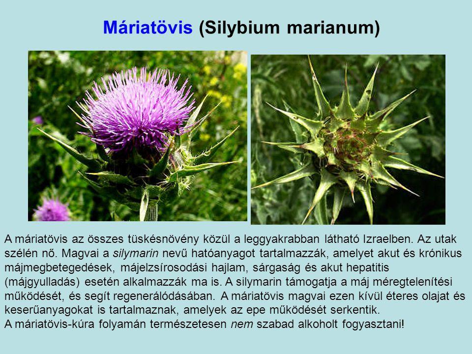 Máriatövis (Silybium marianum) A máriatövis az összes tüskésnövény közül a leggyakrabban látható Izraelben.