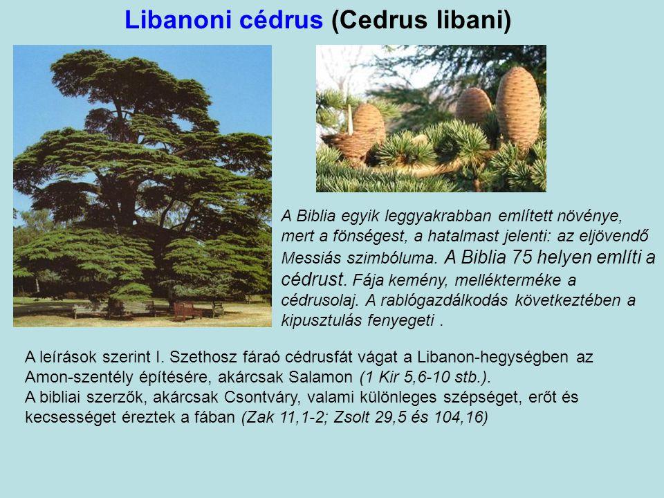 Libanoni cédrus (Cedrus libani) A Biblia egyik leggyakrabban említett növénye, mert a fönségest, a hatalmast jelenti: az eljövendő Messiás szimbóluma.