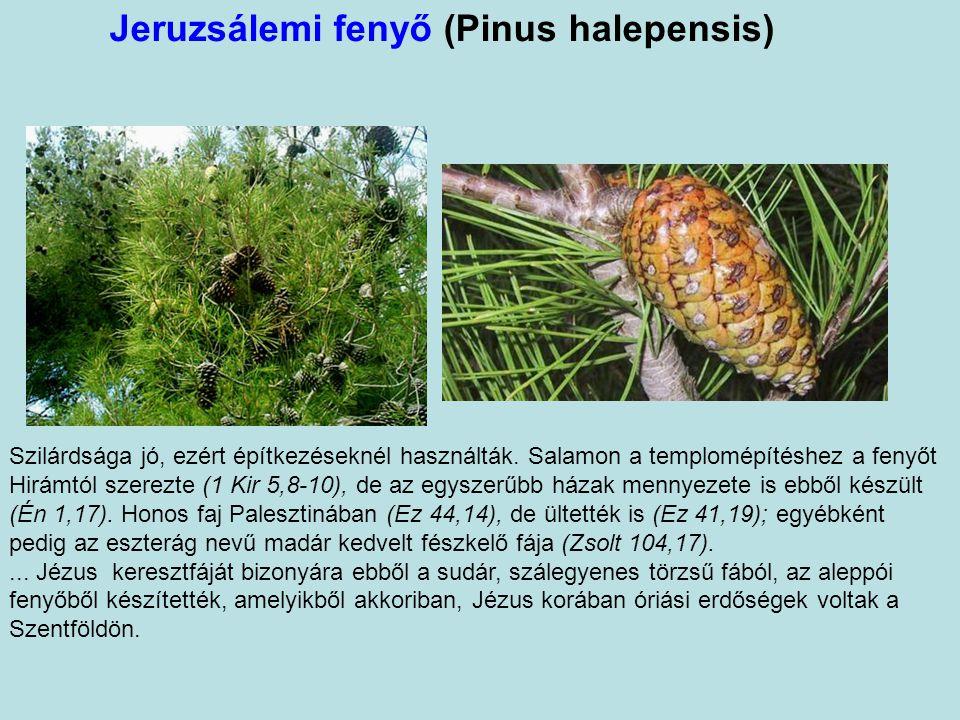 Jeruzsálemi fenyő (Pinus halepensis) Szilárdsága jó, ezért építkezéseknél használták.