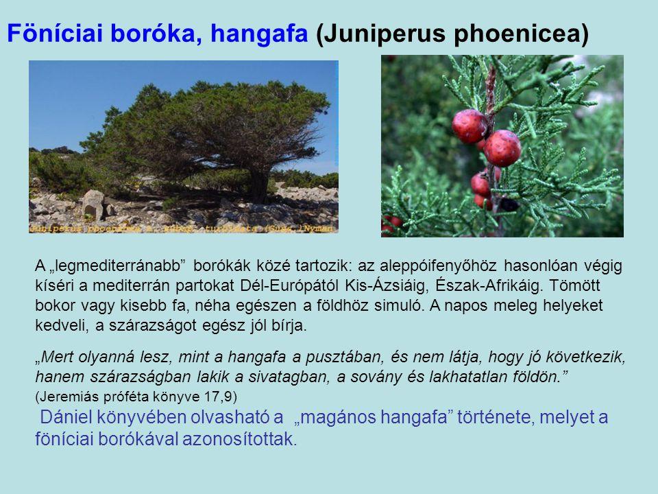 """Föníciai boróka, hangafa (Juniperus phoenicea) A """"legmediterránabb borókák közé tartozik: az aleppóifenyőhöz hasonlóan végig kíséri a mediterrán partokat Dél-Európától Kis-Ázsiáig, Észak-Afrikáig."""