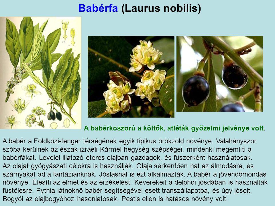 Babérfa (Laurus nobilis) A babérkoszorú a költők, atléták győzelmi jelvénye volt.