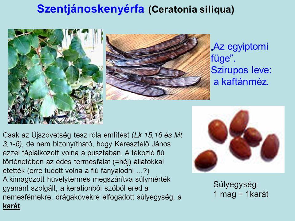 """Szentjánoskenyérfa (Ceratonia siliqua) Súlyegység: 1 mag = 1karát """" Az egyiptomi füge ."""