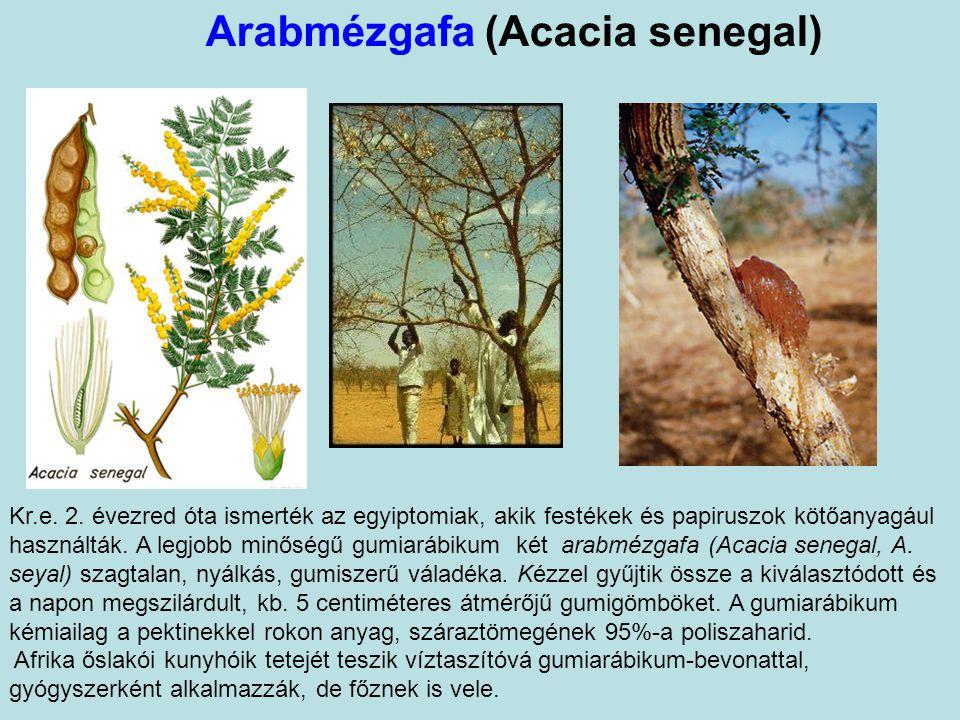 Arabmézgafa (Acacia senegal) Kr.e.2.