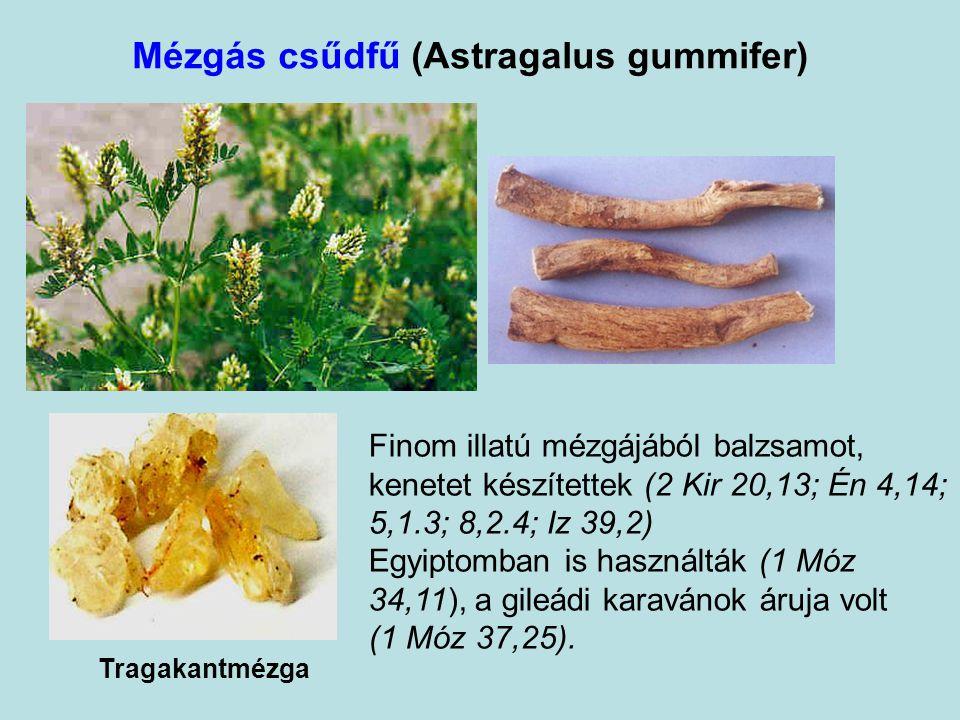 Mézgás csűdfű (Astragalus gummifer) Tragakantmézga Finom illatú mézgájából balzsamot, kenetet készítettek (2 Kir 20,13; Én 4,14; 5,1.3; 8,2.4; Iz 39,2) Egyiptomban is használták (1 Móz 34,11), a gileádi karavánok áruja volt (1 Móz 37,25).