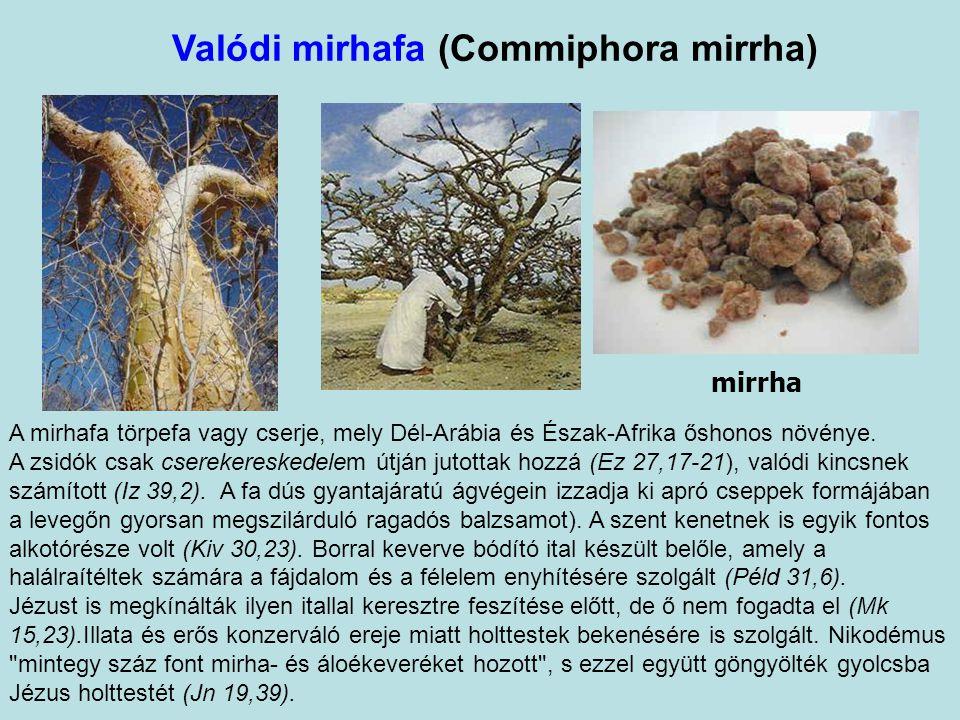 Valódi mirhafa (Commiphora mirrha) mirrha A mirhafa törpefa vagy cserje, mely Dél-Arábia és Észak-Afrika őshonos növénye.