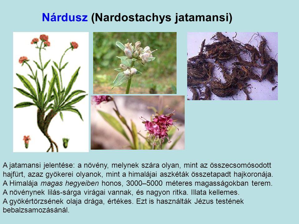 Nárdusz (Nardostachys jatamansi) A jatamansi jelentése: a növény, melynek szára olyan, mint az összecsomósodott hajfürt, azaz gyökerei olyanok, mint a himalájai aszkéták összetapadt hajkoronája.