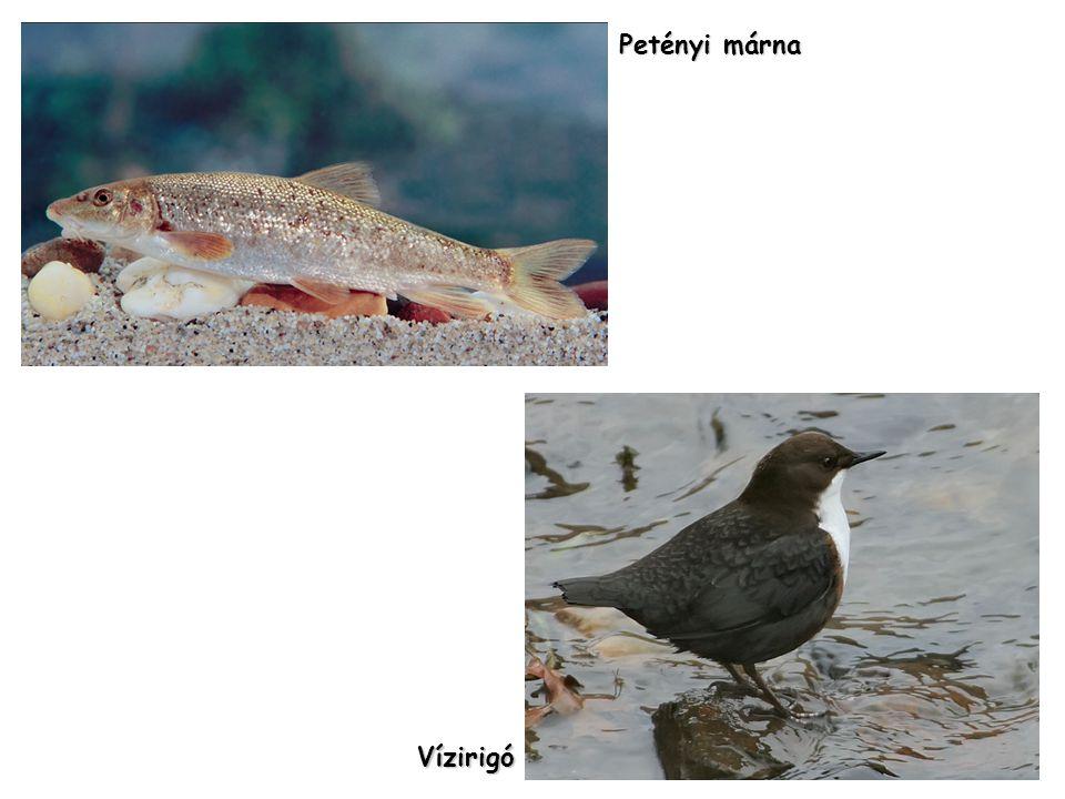 Petényi márna Vízirigó