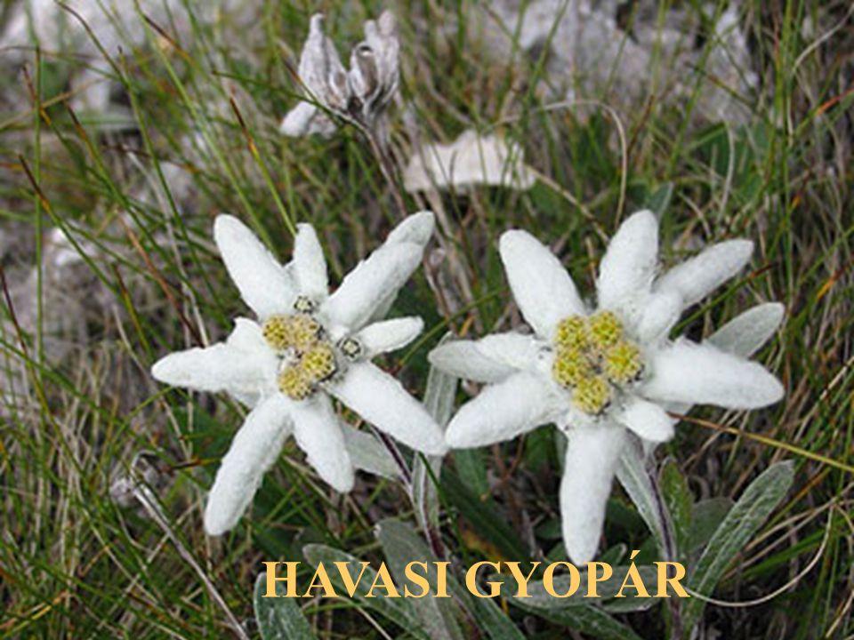 HAVASI GYOPÁR
