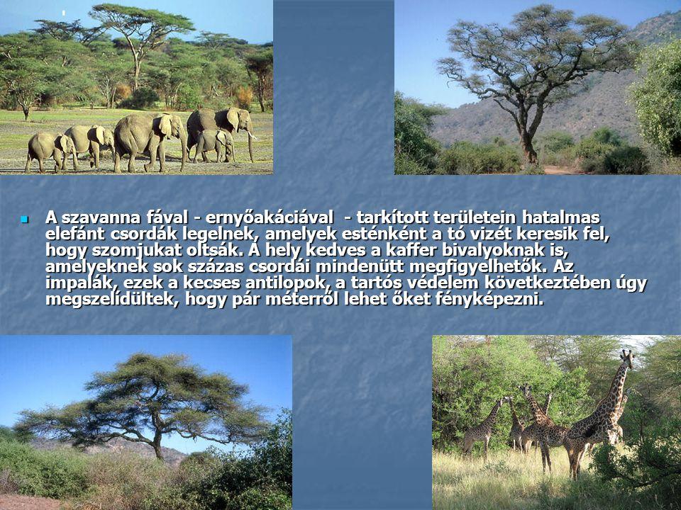  A szavanna fával - ernyőakáciával - tarkított területein hatalmas elefánt csordák legelnek, amelyek esténként a tó vizét keresik fel, hogy szomjukat