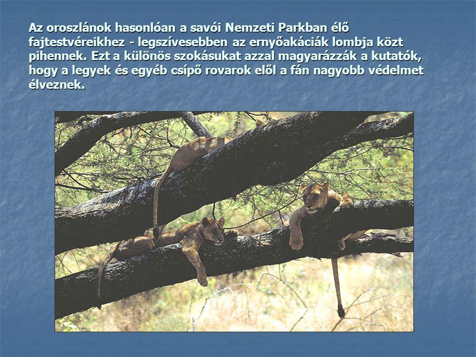 Az oroszlánok hasonlóan a savói Nemzeti Parkban élő fajtestvéreikhez - legszívesebben az ernyőakáciák lombja közt pihennek. Ezt a különös szokásukat a
